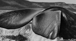antartica-whale-salgado